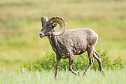 A male Bighorn sheep ram stands in a mountain meadow in the Rocky Mountain National Park in Estes Park, Colorado.