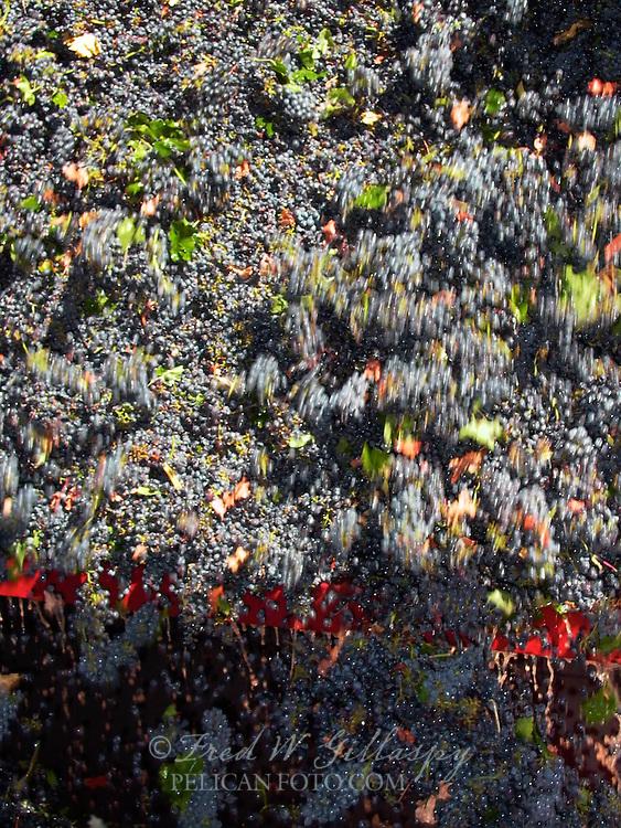Wine Grape Harvest 0011