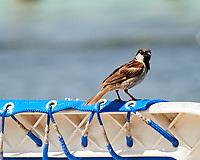 House Sparrow (Passer domesticus). Kralendijk, Bonaire. Image taken with a Nikon D3s camera and 70-300 mm VR lens.