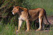 Lone Lioness (Panthera leo) Photographed in the wild