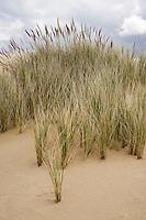 Beach grasses hold a ridge of sand at the Oregon Dunes National Recreation Area, Oregon, USA