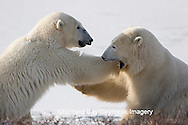 01874-106.07 Polar Bears (Ursus maritimus) sparring, Churchill, MB
