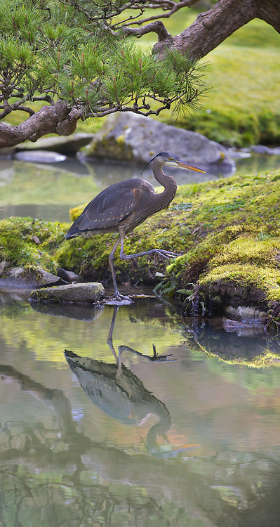 A great blue heron steps gingerly along the edge of a pond at the Seattle Japanese Garden at the Washington Park Arboretum. (Mike Siegel/The Seattle Times)