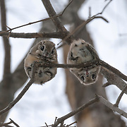 This male and female Pteromys volans orii flying squirrels have paired up for the reproductive season. They had just finished foraging for food high in the canopy and were sitting together like this during light snow. The pair mated a few days after this photograph was taken. The male is on the right, female left.