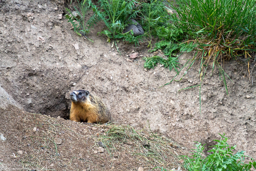 A Yellow-bellied Marmot (Marmota flaviventris) looks out from its burrow in Kekuli Bay Provincial Park near Vernon, British Columbia, Canada
