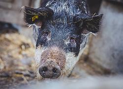 THEMENBILD - ein Wollschwein auf der Fürthermoar Alm, aufgenommen am 09. August 2018, Kaprun, Österreich // a woolly pig on the Fürthermoar Alm on 2018/08/09, Kaprun, Austria. EXPA Pictures © 2018, PhotoCredit: EXPA/ Stefanie Oberhauser