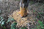 Nederland, Ubbergen, 23-9-2011Aan de voet van de stuwwal zijn sporen van een bever gevonden. Hier een boom die doorgeknaagd gaat worden..Foto: Flip Franssen/Hollandse Hoogte