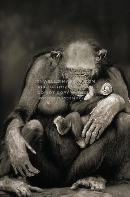 Image portrait of a chimpanzee (Pan troglodytes) grandma and child by wildlife photographer Randy Wells