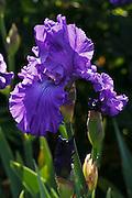 USA, Oregon, Keizer, Schreiner's Iris Garden, cultivated iris.