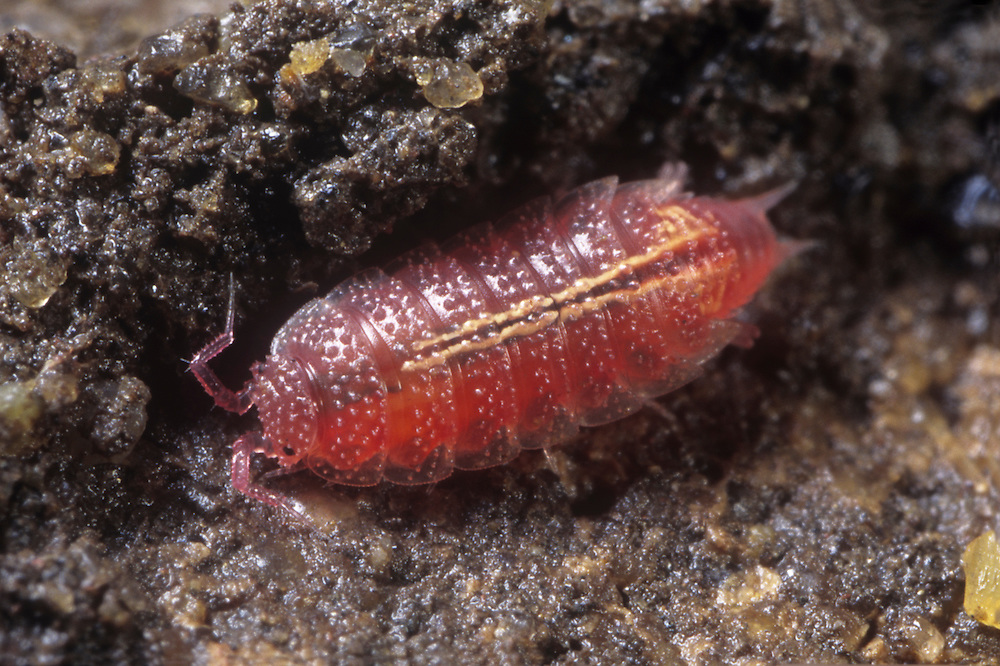 Rosy Woodlouse - Androniscus dentiger