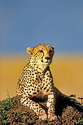 Cheetah, Acinonyx jabitus, Masai Mara, Kenya, Africa, laying on mound of earth for good view, looking