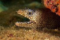 Jewel Moray (Muraena lentiginosa)<br /><br />Coiba Island<br />Coiba National Park, Panama<br />Tropical Eastern Pacific Ocean<br /><br />Don Juan Dive Site