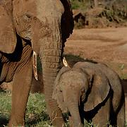 African Elephant ( Loxodanta africana) Mother and baby. Samburu Game Reserve. Kenya. Africa.