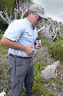 Bermuda Petrel - Pterodroma cahow being examined by Jeremy Madeiros