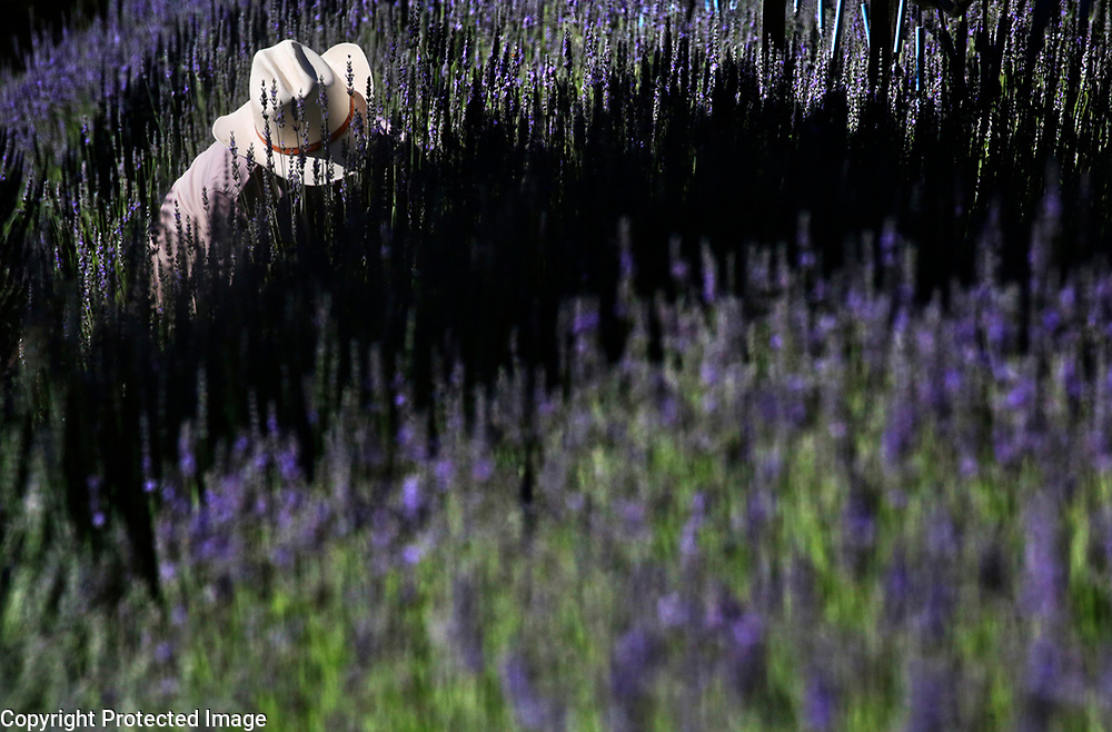 Alex Valdez and his father Eduardo Valdez harvests lavender at Bonny Doon Farm on Martin Road near Santa Cruz, California on July 11, 2018. The 5-acre farm owned by Diane and Gary Meehan has been providing high quality lavender since first selling at a local Renaissance fair in 1972. While the harvest at the farm is usually complete by the beginning of July, this year the lavender is ripening the latest it ever has - and the harvest has just begun. Bonny Doon Farm produces many different lavenders including 'Frieda', a variety the Meehans created, and named after Diane's mother. The farm produces soaps, salves, perfumes, oils, body wash, essential oils and beeswax products, some of which are produced from botanical oils from around the globe.<br /> Photo by Shmuel Thaler <br /> shmuel_thaler@yahoo.com www.shmuelthaler.com