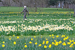 © Licensed to London News Pictures 16/03/2021. Greenwich, UK. A woman walking past the Daffodils. Spring Daffodils at Greenwich Park in London today as the Met Office forecast for the next few days is sunshine with some rain across the UK. Photo credit:Grant Falvey/LNP