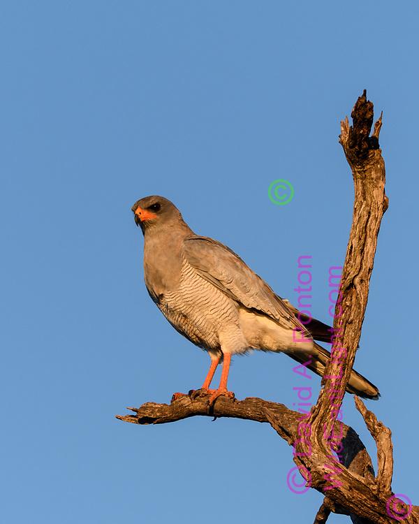 Southern pale chanting goshawk,  Madikwi Game Reserve, South Africa, © David A. Ponton
