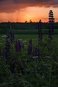 Invasive plant species of Lupine (Luinus sp.) on road side at sunset, Vidzeme, Latvia Ⓒ Davis Ulands | davisulands.com