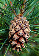 Scots Pine Pinus sylvestris Pinaceae Height to 36m<br /> Conical evergreen becoming flat-topped with age. <br /> Bark Grey-brown and scaly low down, red or orange higher up. Branches Irregular. Needles Paired, grey-green to 7cm long. Reproductive parts Male flowers are yellow, at tips previous year's shoots. Female flowers grow at tips of new shoots; crimson at first, ripening to brown cones. Status Native to parts of Scotland, also planted for timber and naturalised there and throughout Britain.