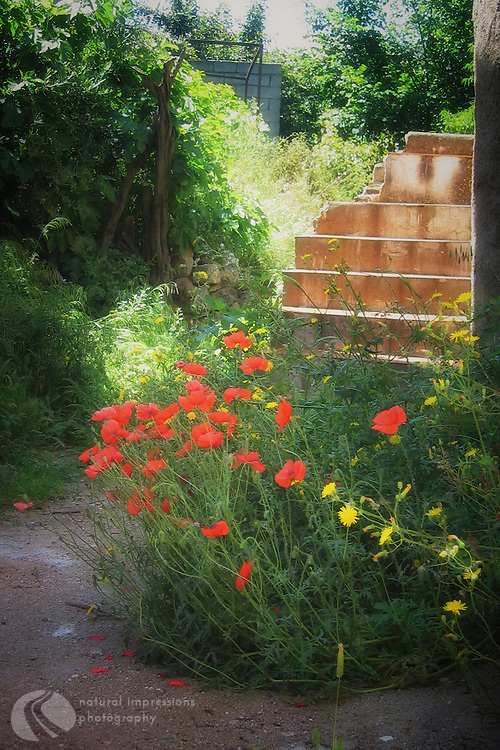 Red poppies bloom everywhere during early summer in Rome and the island of Sardinia.
