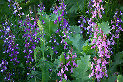 Linarias in the cutting garden including Linaria maroccana 'Licilia Azure' (with poppy foliage). Annual toadflax, Moroccan toadflax