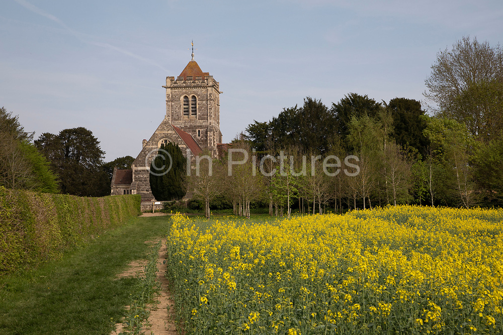 Oil Seed Rape crops flowering in fields near St. Giles Church in Shipbourne, England, United Kingdom. Also known as Rape Seed Oil, this beautiful yellow crop blooms in spring and summer and produces a delicious oil.