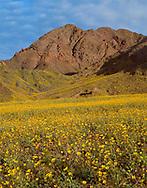 CADDV_052 - USA, California, Death Valley National Park, Field of desert sunflower (Geraea canescens) blooms beneath the Black Mountains.