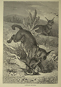 Caracals Hunting From the book ' Royal Natural History ' Volume 1 Edited by  Richard Lydekker, Published in London by Frederick Warne & Co in 1893-1894