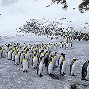 King Penguin (Aptenodytes p. patagonica) at St. Andrews Bay on South Georgia Island.