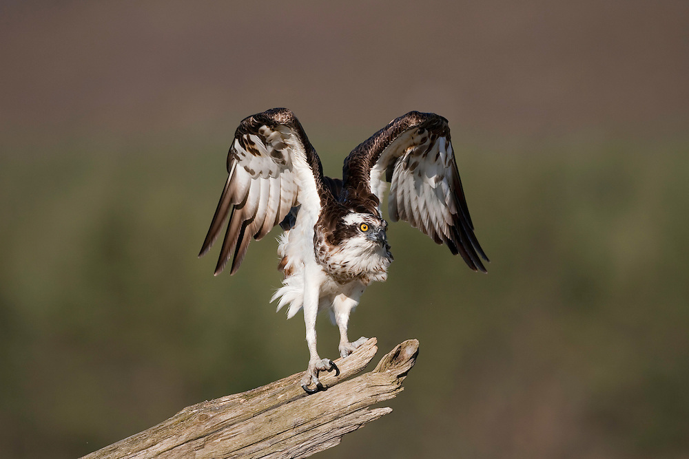 Osprey (Pandion haliaetus) perched on dead pine snag, Scotland.