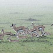 Thomson's Gazelle (Gazella thomsoni) herd waiting out a pounding rainstorm. Masai Mara National Reserve, Kenya, Africa