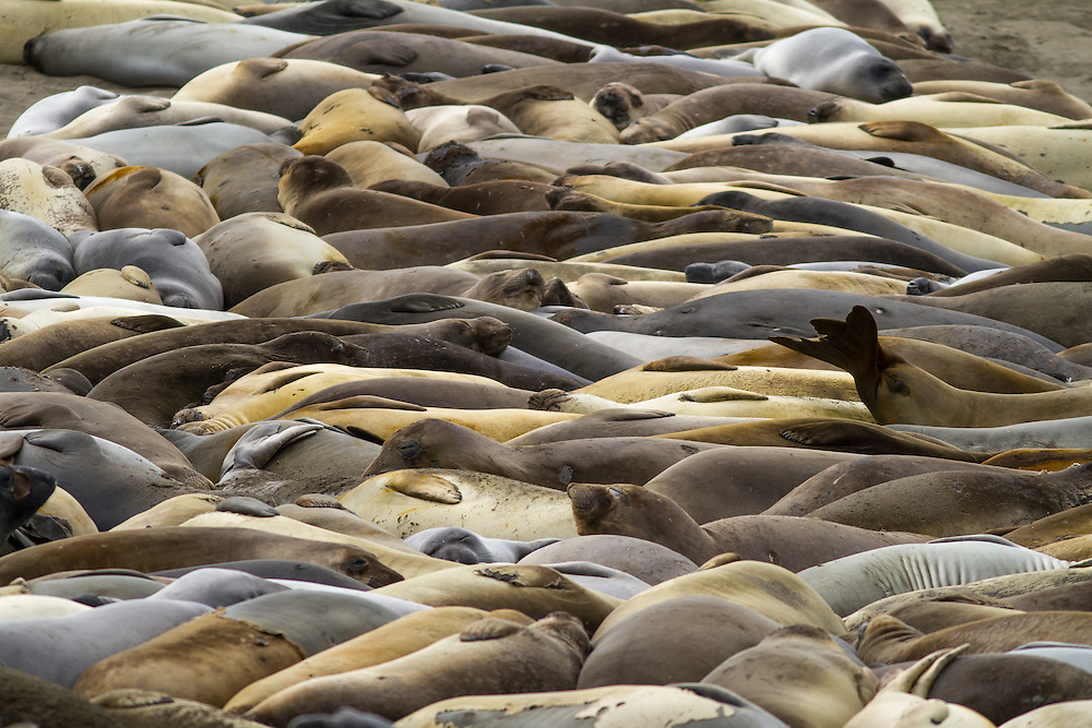 Elephant Seals packed tight at San Simeon Beach on the Central Coast of California. The Piedras Blancas Rookery is the only elephant seal rookery in the world that is easily accessible, free, and open to the public every day of the year. No reservations are needed. The rookery is located seven miles north of San Simeon on Highway 1. Licensing and Open Edition Prints.