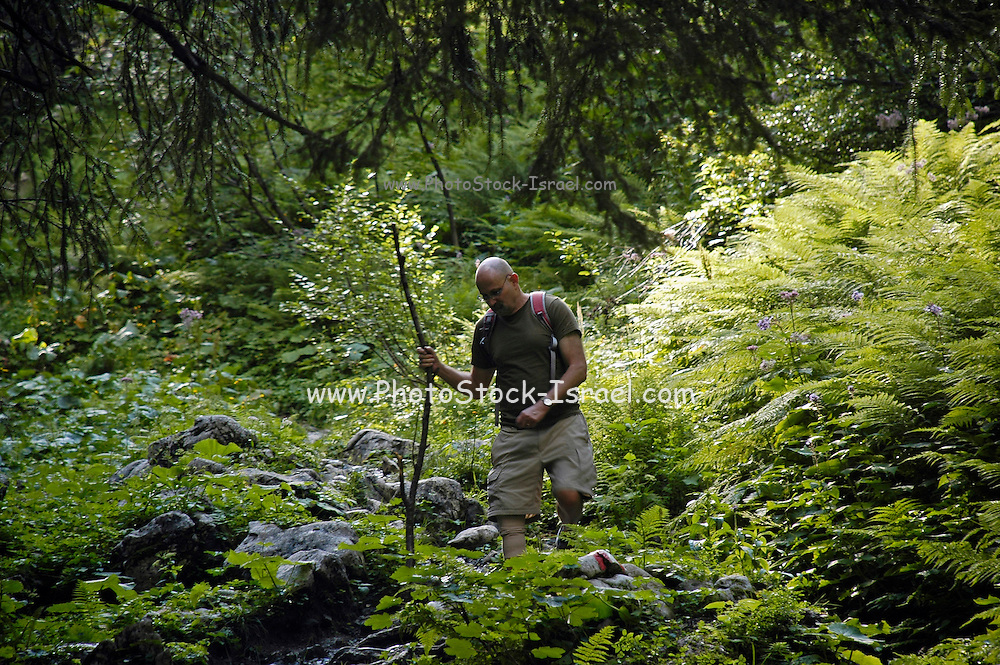 Austria, Upper Austria, Gosau, in the Dachstein Mountains. Man trekking in the forest. Model Release Available