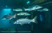 Common Snook, Centropomus undecimalis, school inside a deep shipwreck offshore Singer Island, Florida.