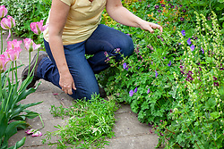 Removing goosegrass from a border. Sticky willy, Catchweed, Cleavers. Galium aparine