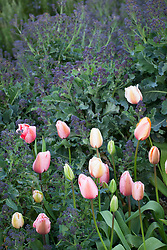 Tulipa 'Gentle Giants' with purple sprouting broccoli. Brassica oleracea