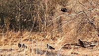 Vultures. Image taken with a Nikon 1 V3 camera and 70-300 mm VR lens.
