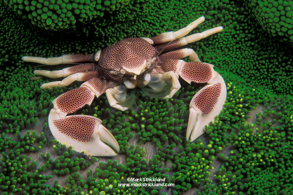 This Porcelain crab, Neopetrolisthes maculatus, is perched on its host, an adhesive sea anemone. The crab makes its living by straining plankton from the water column; its massive claws are only for defense.  Ko Tachai, Similan Islands Marine National Park, Thailand, Andaman Sea, Indian Ocean