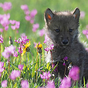 Gray Wolf, (Canis lupus) Pup in field of blooming shooting star flowers. Southwest Montana. Spring. Captive Animal.