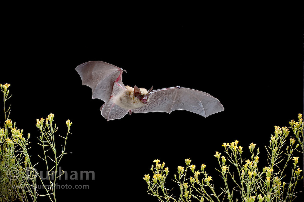 A western pipistrelle bat (Pipistrellus hesperus) flying over desert scrub, Near Pine Creek in the John Day Fossil Beds National Monument, Clarno Unit, Oregon. This is the smallest bat found north of Mexico.