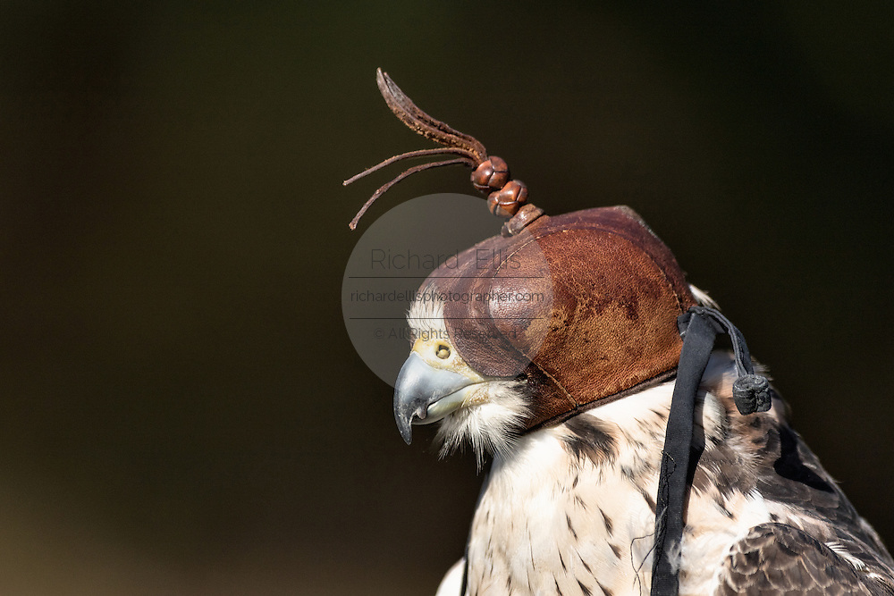 Lanner Falcon wearing a hood at the Center for Birds of Prey November 15, 2015 in Awendaw, SC.