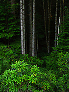 Looking down into a Douglas Fir (Pseudotsuga menziesii) and Pacific Rhododendron (Rhododendron macrophyllum) forest in the Green Mountain State Forest on the Kitsap Peninsula in Puget Sound, WA, USA.