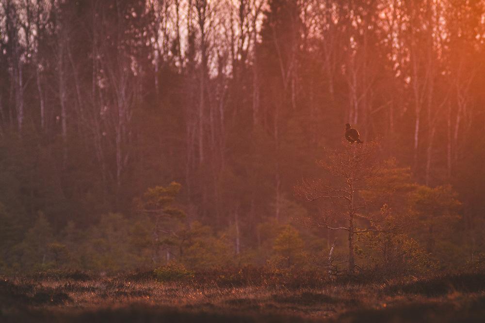 """Sunrise in raised bog with black grouse (Lyrurus tetrix) sitting on the pine, nature reserve """"Augstroze"""", Latvia Ⓒ Davis Ulands   davisulands.com"""