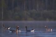 Greater white-fronted goose, Photo by Davis Ulands | davisulands.com