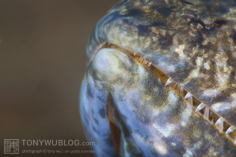 Close-up view of a lizardfish's (Synodus sp.) sharp teeth. Lembeh Strait, North Sulawesi, Indonesia