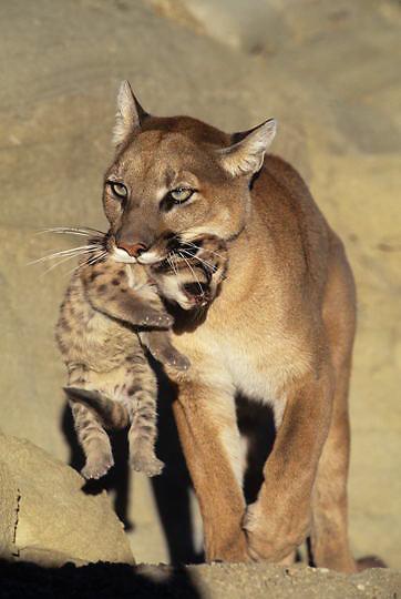 Mountain Lion or Cougar, (Felis concolor) Female carrying cub.   Captive Animal.