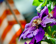 Purple flower with American flag in the background.