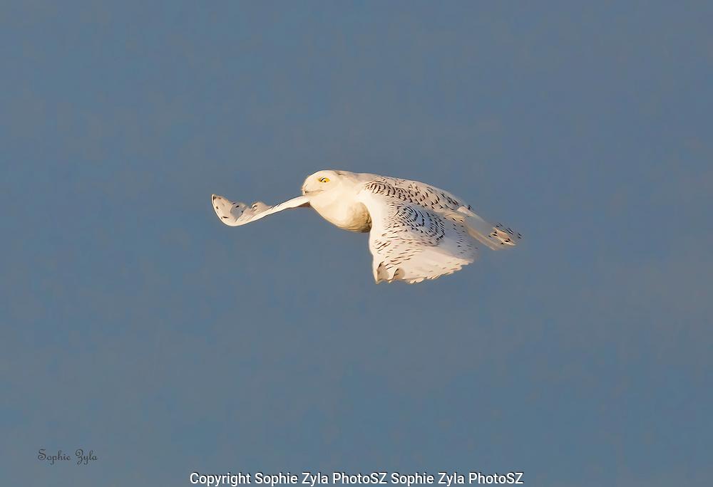 Snowy Owl Grace in Flight