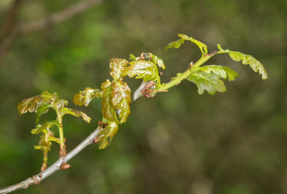 Pedunculate or English Oak - Quercus robur. Spring leaf burst in Stoke Wood, Bicester, Oxfordshire.