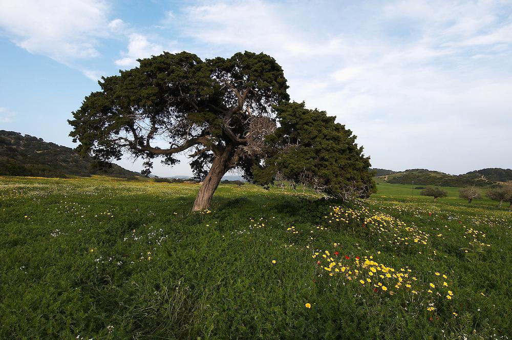A big Mediterranean Cypress (Cupressus sempervirens), Karpaz Peninsula, Cyprus